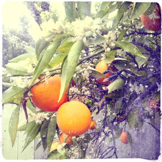 Orange Blossoms-edited
